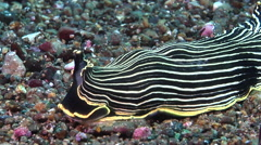 Blackface yellow stripe slug walking on black sand, Armina magna, HD, UP30568 Stock Footage