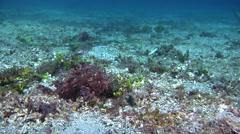 Weedy scorpionfish flopping on muck, Rhinopias frondosa, HD, UP30478 Stock Footage