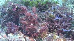 Weedy scorpionfish flapping wings on muck, Rhinopias frondosa, HD, UP30475 Stock Footage
