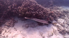 Trumpetfish swimming on shallow coral reef, Aulostomus chinensis, HD, UP20235 Stock Footage
