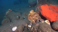 Common reef octopus on black sand slope and muck, Octopus cyanea, HD, UP30354 Stock Footage