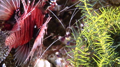 Mombasa lionfish waiting to be cleaned, Pterois mombasae, HD, UP30428 Stock Footage