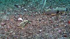Blackface yellow stripe slug hunting on black sand, Armina magna, HD, UP30570 Stock Footage