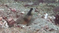 Unidentified giant shrimpgoby jumping on sand, Amblyeleotris sp., HD, UP30474 Stock Footage