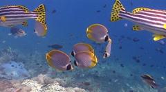 Oriental sweetip swimming on shallow coral reef, Plectorhinchus vittatus, HD, Stock Footage