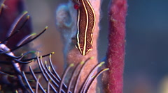 Doublestriped clingfish looking around on black sand slope and muck, Stock Footage