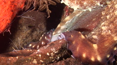 Common reef octopus breathing on cleaning station, Octopus cyanea, HD, UP30348 Stock Footage