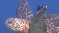 Sixbar wrasse cleaning and being cleaned on cleaning station, Thalassoma Stock Footage