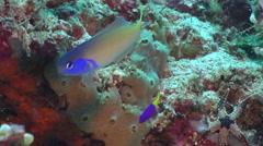 Bluehead tilefish swimming on deep coral reef, Hoplolatilus starcki, HD, UP30422 Stock Footage
