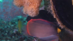 Lyretail dottyback territorial on mucky micro-bommie, Pseudochromis steenei, HD, Stock Footage