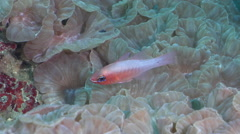 Microspot cardinalfish hovering on hard coral microhabitat, Ostorhinchus Stock Footage