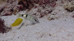 Manybar goatfish feeding on sand and coral rubble, Parupeneus multifasciatus, Stock Footage