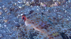 Flying gurnard swimming on black sand slope and muck, Dactyloptena orientalis, Stock Footage