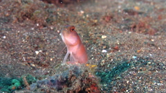 Flagtail shrimpgoby keeping lookout on black sand slope and muck, Amblyeleotris Stock Footage
