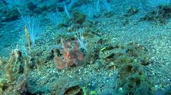 Eschmeyer's scorpionfish on black sand slope and muck, Rhinopias eschmeyeri, HD, Stock Footage