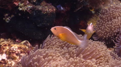 Orange anemonefish swimming, Amphiprion sandaracinos, HD, UP30047 Stock Footage