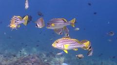 Oriental sweetip swimming on cleaning station, Plectorhinchus vittatus, HD, Stock Footage