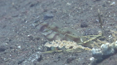 Slantbar shrimpgoby keeping lookout on black sand slope and muck, Amblyeleotris Stock Footage