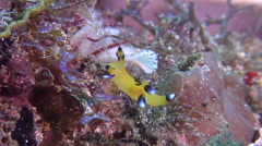 Blue and white tip orange slug walking, Thecacera pacifica, HD, UP30459 Stock Footage