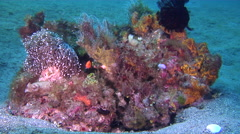 Male adult Anemone coral hiding on mucky micro-bommie, Euphyllia sp., HD, Stock Footage