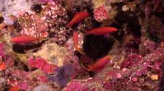 Randall's anthias hiding in cavern, Pseudanthias randalli, HD, UP30877 Stock Footage