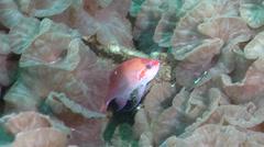 Male adult Hutomo's anthias swimming on deep coral reef, Pseudanthias hutomoi, Stock Footage