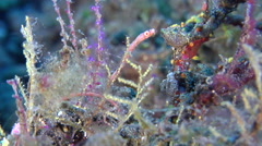 Pygmy pipefish wobbling, Micrognathus pygmaeus, HD, UP30236 Stock Footage