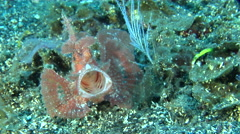 Eschmeyer's scorpionfish yawning on black sand slope and muck, Rhinopias Stock Footage