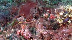 Duncker's Pipefish swaying, Halicampus dunckeri, HD, UP30378 Stock Footage