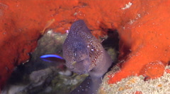 Yellow-mouth eel cleaning and being cleaned on cleaning station, Gymnothorax Stock Footage