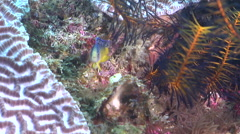 Juvenile Splendid dottyback swimming on coral reef, Manonichthys splendens, HD, Stock Footage