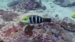 Barred thicklip swimming, Hemigymnus fasciatus, HD, UP20259 Stock Footage
