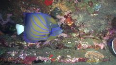 Blue-ringed angelfish feeding on wreckage, Pomacanthus annularis, HD, UP30016 Stock Footage