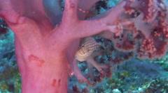 Soft bottom soft coral feeding, Umbellulifera sp., HD, UP30491 Stock Footage