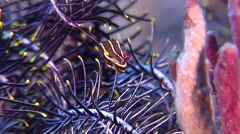 Doublestriped clingfish swimming on black sand slope and muck, Lepadichthys Stock Footage
