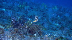 Pacific crown toby swimming on black sand slope and muck, Canthigaster Stock Footage