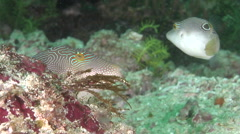 Compressed toby courting, Canthigaster compressa, HD, UP30442 - stock footage