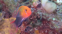 Male adult Lyretail dottyback hovering on mucky micro-bommie, Pseudochromis Stock Footage