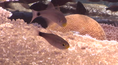 Unidentified cardinalfish waiting to be cleaned on shallow coral reef, Archamia Stock Footage