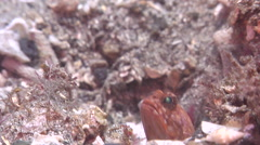 Variable jawfish looking around on muck, Opistognathus variabilis, HD, UP30482 Stock Footage