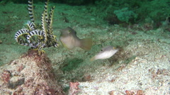 Compressed toby courting, Canthigaster compressa, HD, UP30440 - stock footage