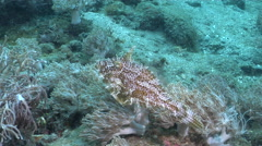 Blotchy filefish swimming on silty inshore reef, Pseudomonacanthus macrurus, HD, Stock Footage