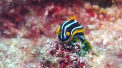 Kuiter's black white orange slug, Chromodoris kuiteri, HD, UP20272 Stock Footage