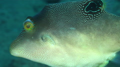 Compressed toby swimming on black sand slope and muck, Canthigaster compressa, - stock footage