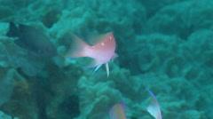 Female adult Hutomo's anthias swimming on deep coral reef, Pseudanthias hutomoi, Stock Footage