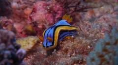 Elizabeth's yellow blue black slug, Chromodoris elizabethina, HD, UP20275 Stock Footage