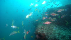 White trevally swimming and schooling on deep coral reef, Pseudocaranx dentex, Stock Footage