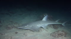 East Australian shovelnose ray swimming at night, Aptychotrema rostrata, HD, Stock Footage