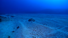 Kuhl's Ray swimming on rocky reef, Neotrygon kuhlii, HD, UP20331 Stock Footage