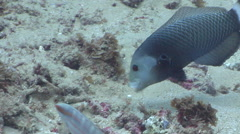 Rockmover wrasse feeding, Novaculichthys taeniourus, HD, UP20339 Stock Footage